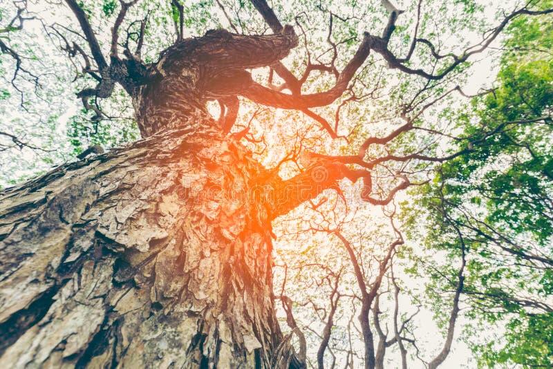 Vista da árvore muito grande e alta na floresta no morni imagem de stock royalty free