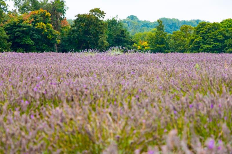 Vista da alfazema na exploração agrícola da alfazema de Mayfield foto de stock