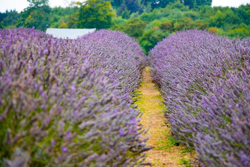 Vista da alfazema na exploração agrícola da alfazema de Mayfield fotografia de stock royalty free