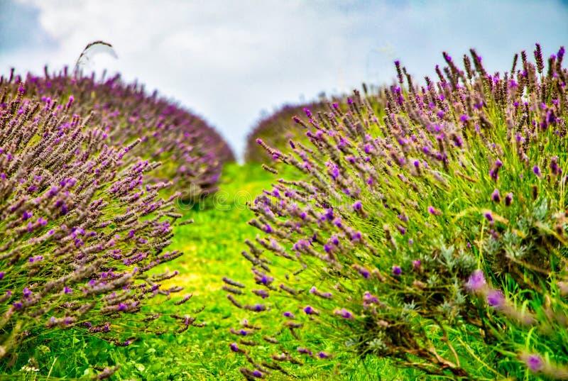 Vista da alfazema na exploração agrícola da alfazema de Mayfield fotos de stock