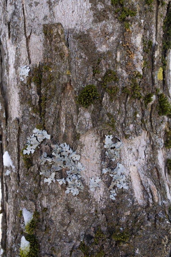 Vista da casca de uma árvore coberta com o musgo, o líquene e a neve 2 imagem de stock