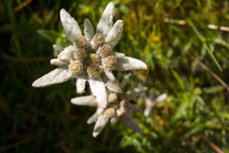Vista da flor em montanhas de Bucegi, Romanian Carpathians dos edelvais fotografia de stock royalty free