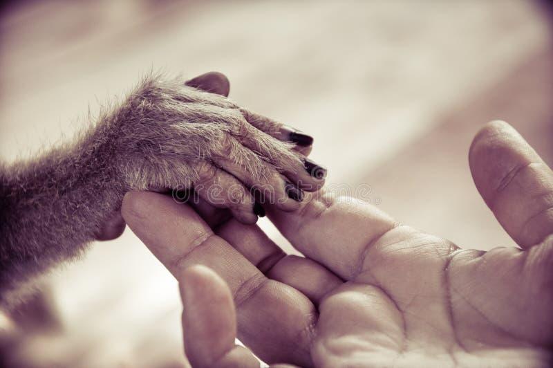 Vista da palma humana que guarda uma mão pequena do macaco fotos de stock royalty free