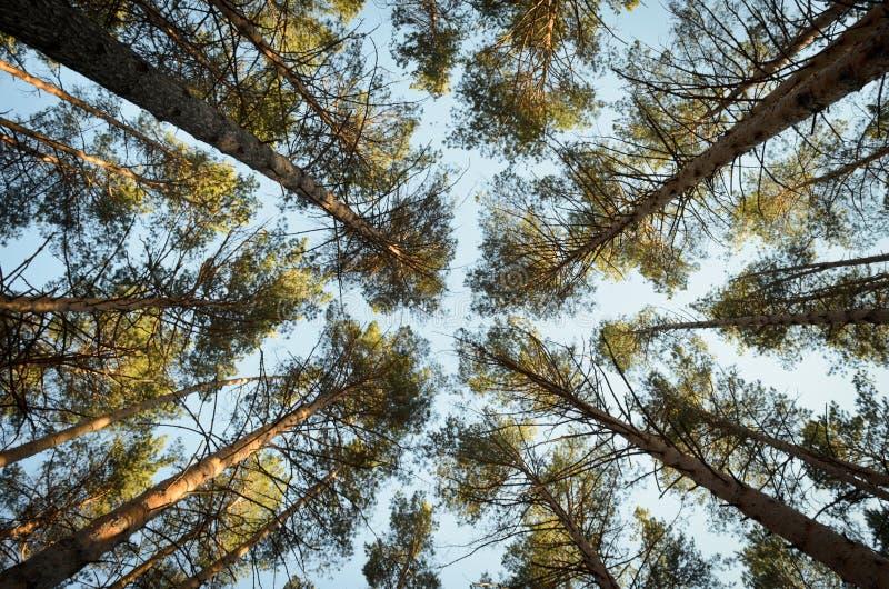 Vista dal basso degli alberi immagine stock libera da diritti