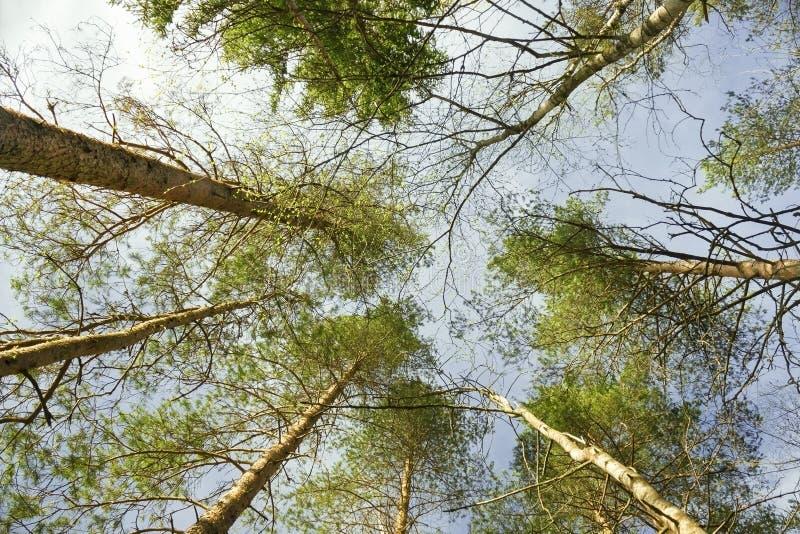 Vista dal basso dei pini alti Una foto di cerca nella foresta fotografia stock