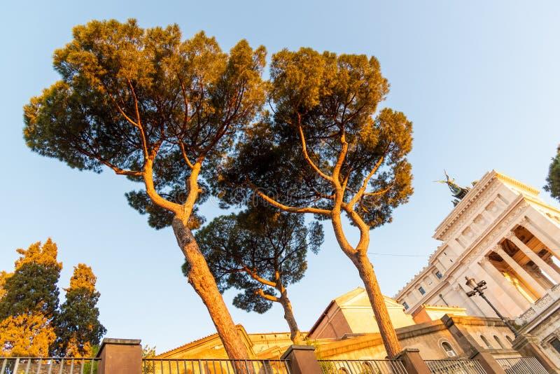 Vista dal basso dei pini di Roma a tempo di alba di estate, Italia fotografia stock