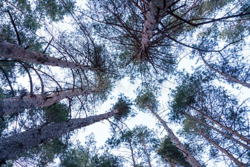 Vista dal basso dei pini verdi alti nell'abetaia in un giorno nuvoloso immagine stock