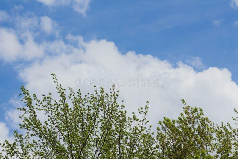 vista dal basso dei rami di albero e cielo blu e cumuli fotografie stock