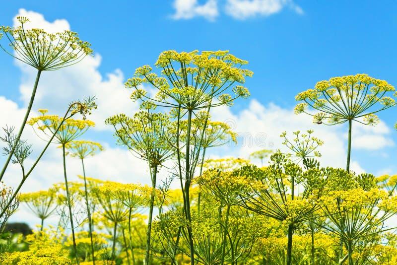 Vista dal basso delle erbe di fioritura dell'aneto in giardino fotografie stock libere da diritti