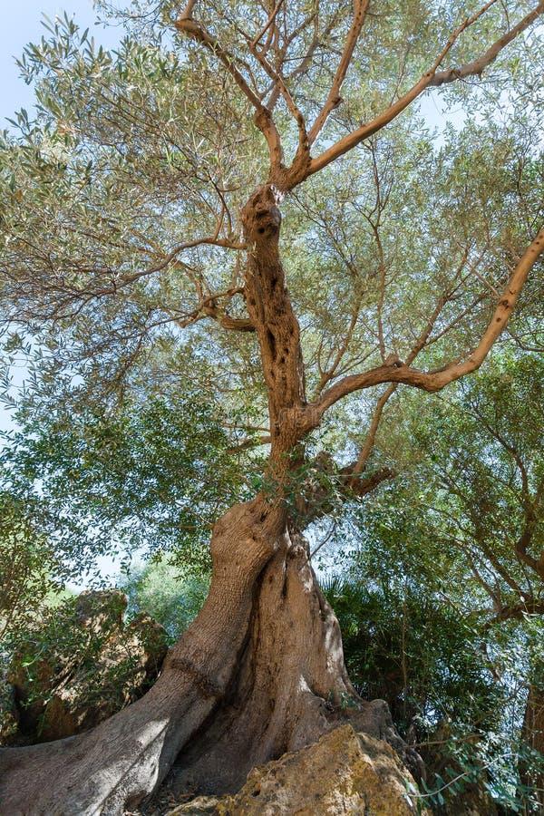 Vista dal basso di vecchio di olivo, Sicilia immagine stock
