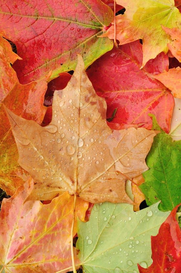 Vista dal di cui sopra dell'foglie di acero variopinte immagine stock
