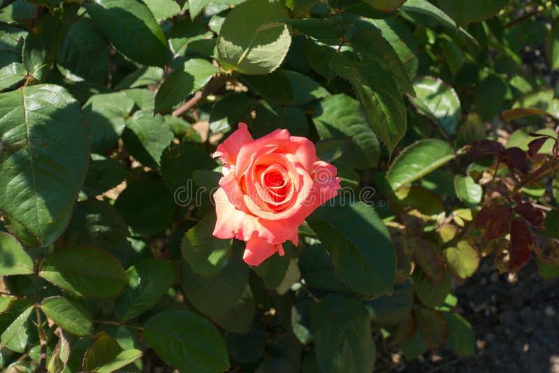 Vista dall'alto del fiore rosa di salmone di rosa immagine stock libera da diritti