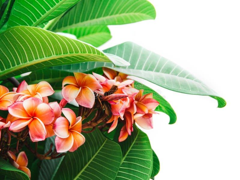 Vista dall'alto di Bellissimi fiori di Plumeria colorati Frangipani, Plumeria, Temple Tree, Graveyard Tree, Pagoda Treedecorata in fotografia stock