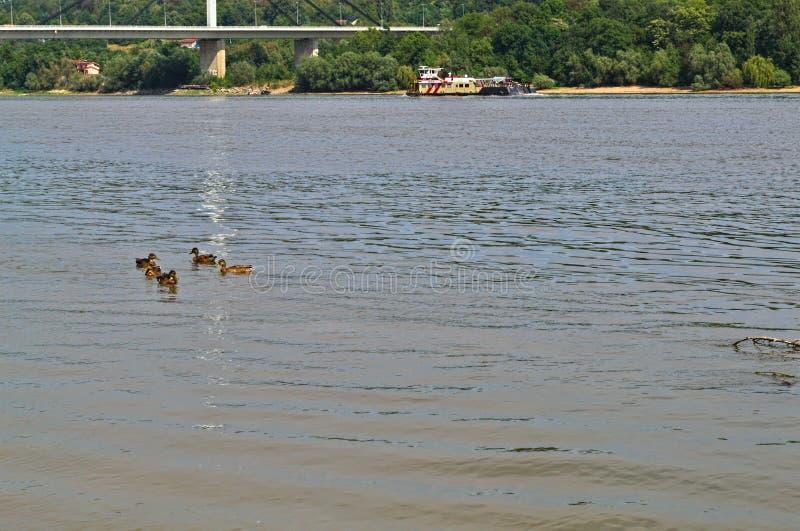 Vista a Danubio, alle anatre che nuotano, allo scorrimento della barca ed all'altro lato del fiume fotografia stock libera da diritti