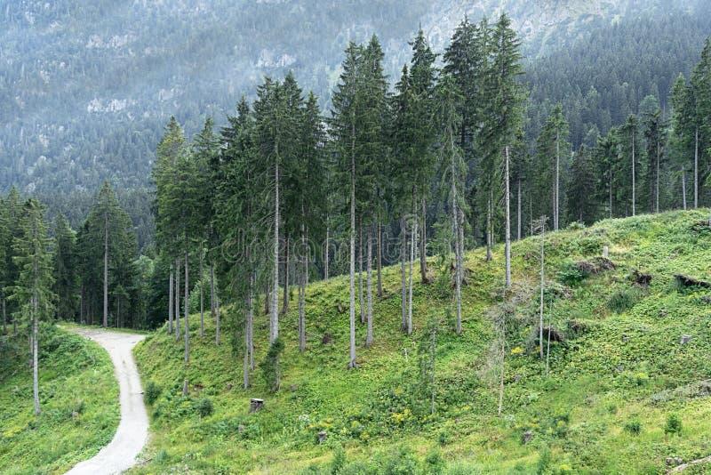 Vista de altas, árvores do abeto vermelho na floresta contra o contexto das montanhas imagens de stock