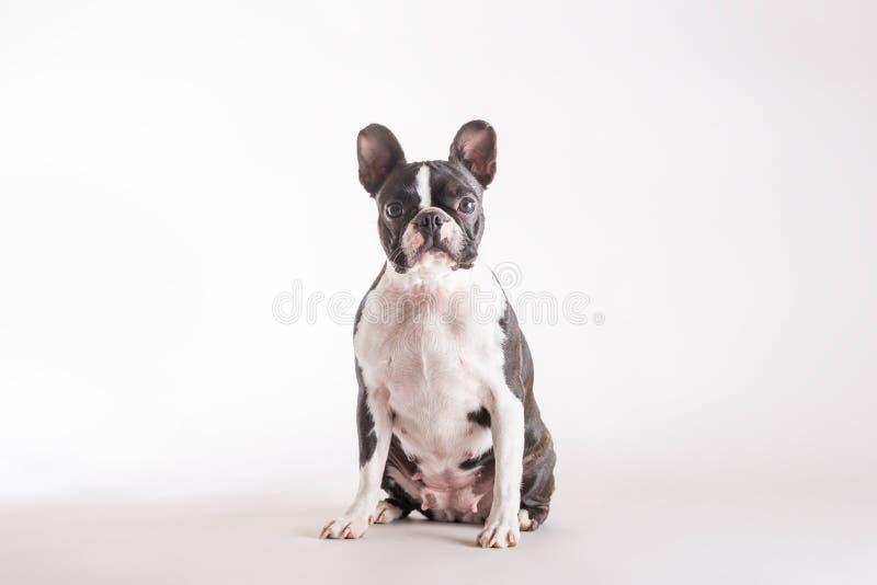 Vista de assento de Boston Terrier ou de Boston Bull à câmera imagens de stock royalty free