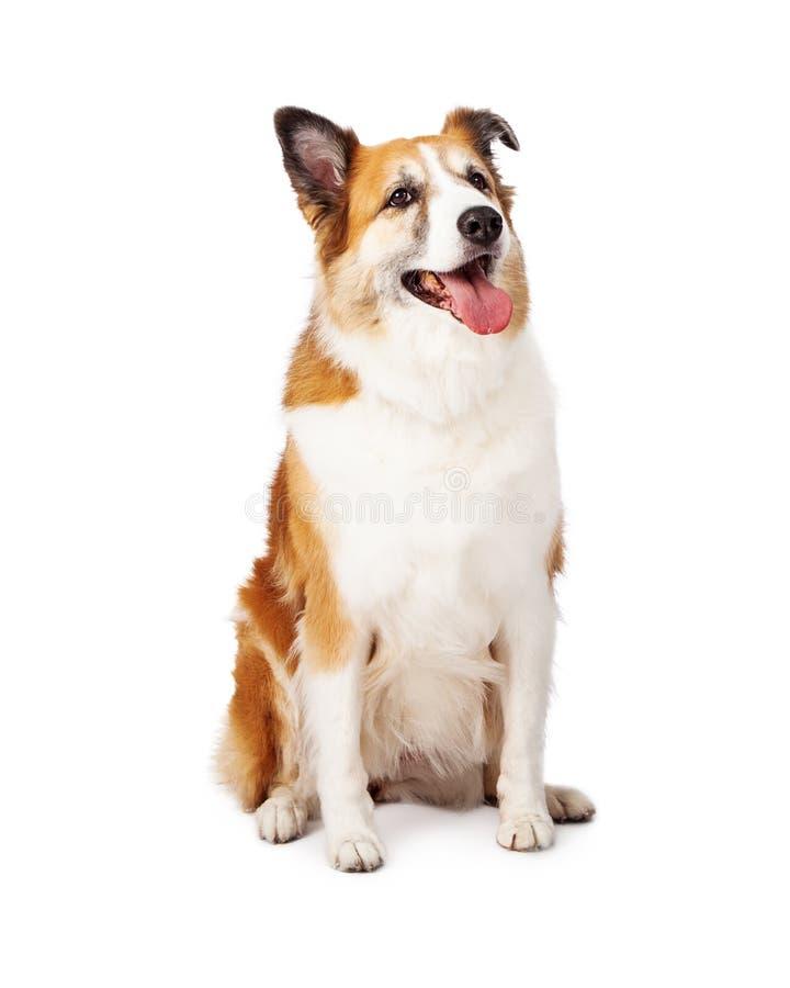 Vista de assento da mistura do cão pastor de Shetland acima imagem de stock royalty free