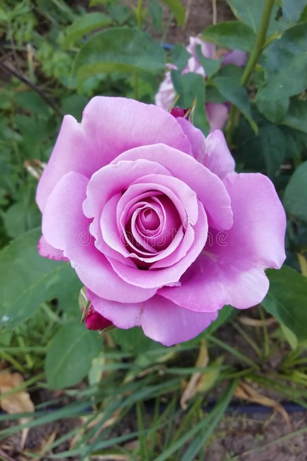 Vista de cima de Lilac fotos de stock