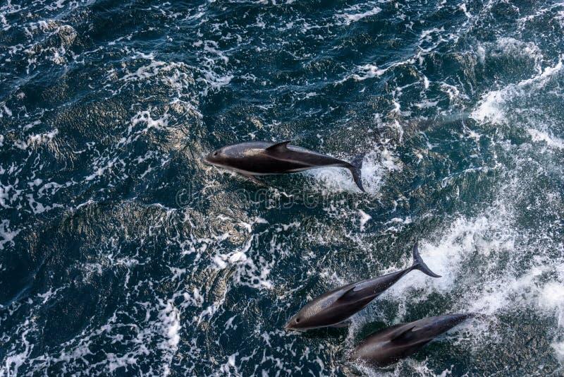 Vista de cima de três golfinhos que jogam, saltando da água e mergulhando para trás dentro, canal do lebreiro, Argentina imagem de stock