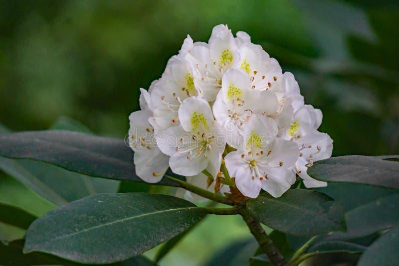 Vista de grandes flores do rododendro imagem de stock royalty free