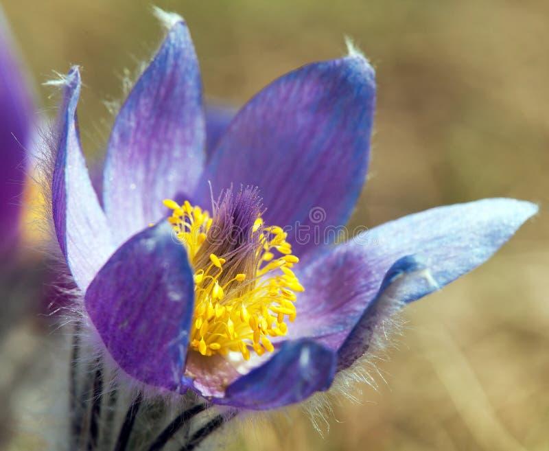 Vista de la flor azul hermosa del pasqueflower en el prado foto de archivo