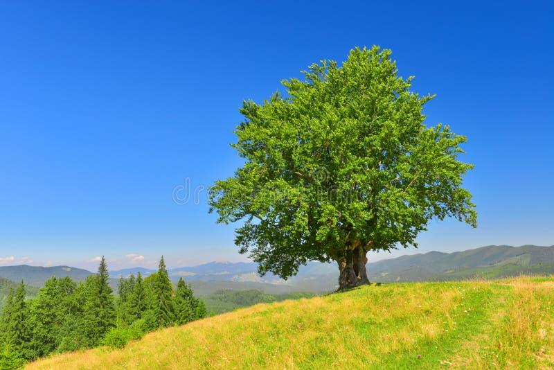 Vista de la haya vieja grande en montañas del verano foto de archivo