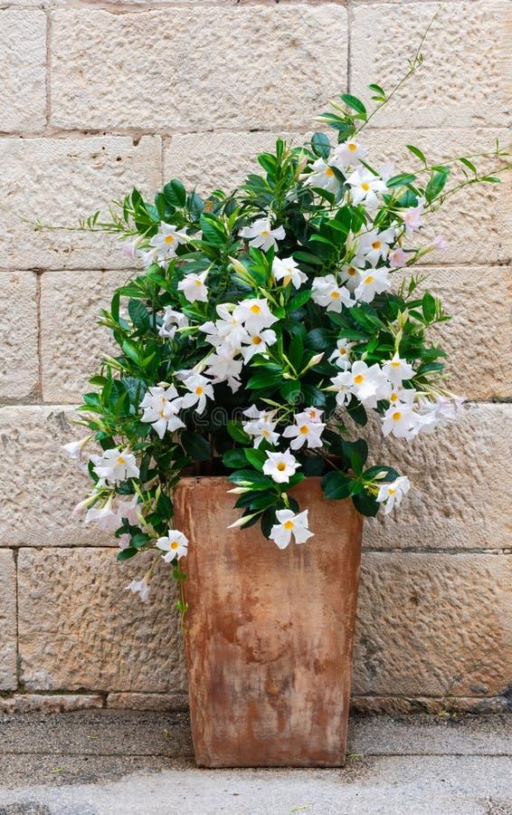 Vista de las flores blancas del adelfa en un pote rústico contra una pared de piedra imágenes de archivo libres de regalías