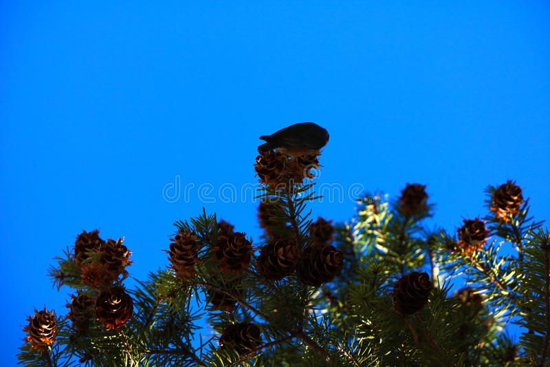 Vista de las ramas y de los conos del pino contra el cielo azul fotos de archivo