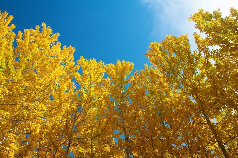 Vista de los árboles de Aspen de la caída fotos de archivo