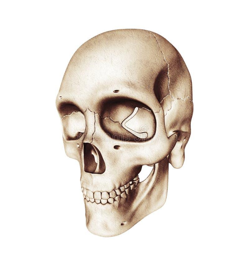 Vista de três quartos do crânio humano no branco ilustração royalty free