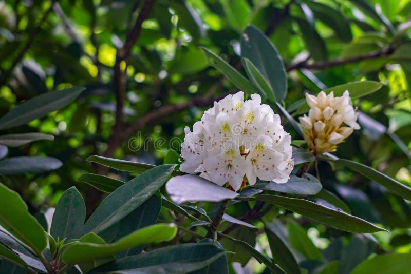 Vista de um conjunto de grandes flores do rododendro fotos de stock royalty free