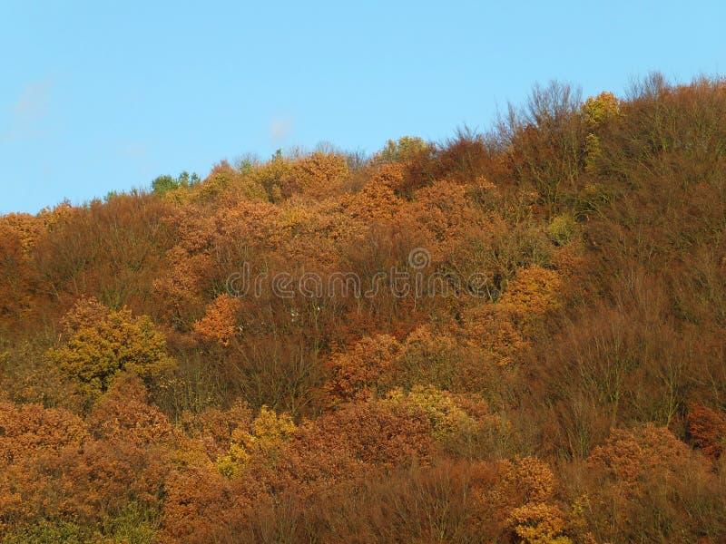 Vista de um dossel de floresta do montanhês no outono em cores douradas vibrantes brilhantes com céu azul foto de stock