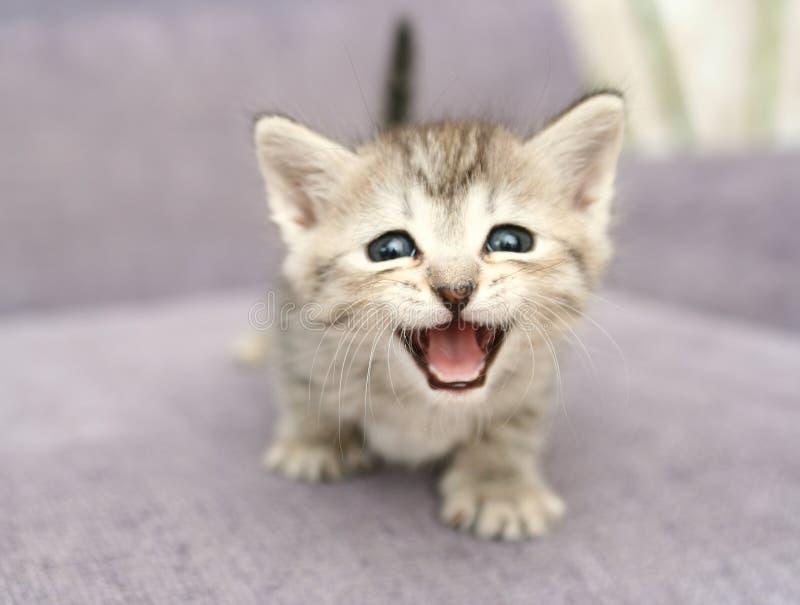 Vista de um kittenwith cinzento pequeno a boca aberta fotos de stock royalty free