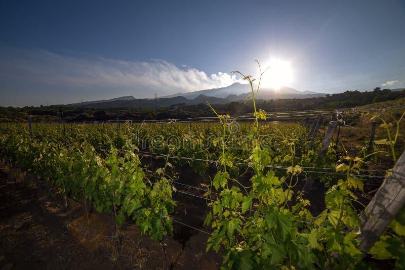 Vista de um vinhedo com o vulcão de Etna no fundo fotografia de stock royalty free