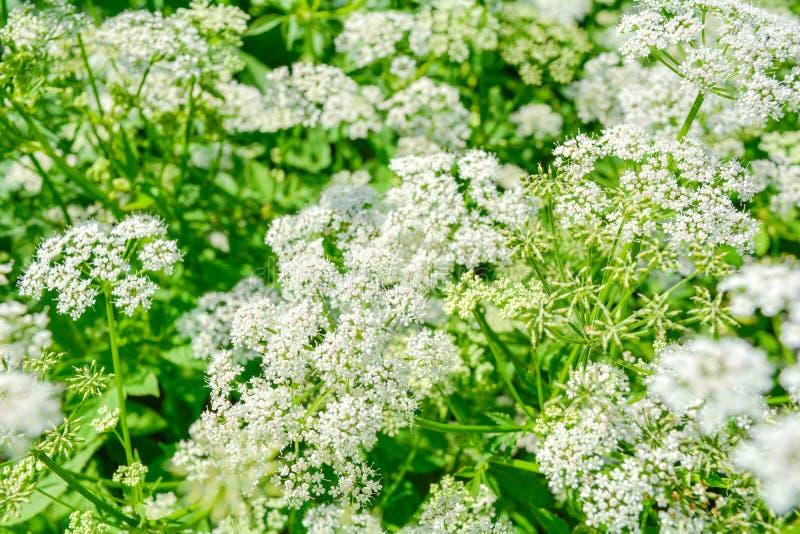 Vista de uma flor branca do prado do podagraria L de Goutweed ou de Aegopodium foto de stock royalty free
