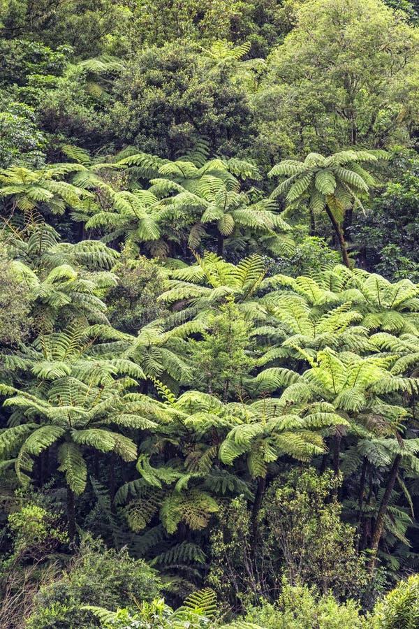 Vista de uma floresta úmida onde muitas samambaias de árvore estejam crescendo, nova imagens de stock