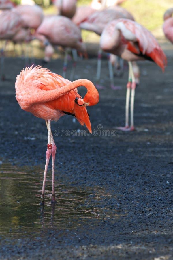 Vista de un flamengo rosado imagenes de archivo
