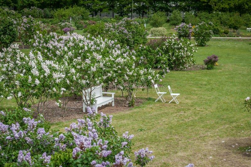 Vista de un jardín floreciente de la lila con un banco blanco y las sillas imagen de archivo