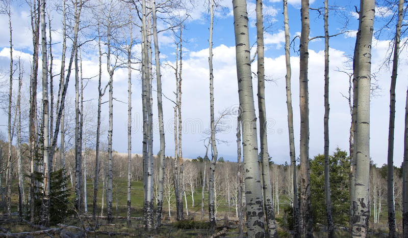 Vista de un prado de la montaña a través de los troncos de Aspen fotos de archivo