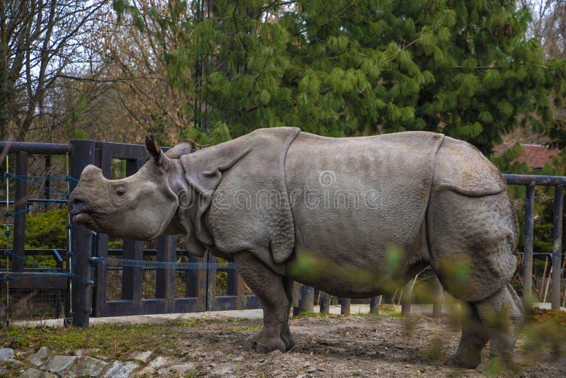 Vista de un rinoceronte grande en el parque para un paseo imágenes de archivo libres de regalías