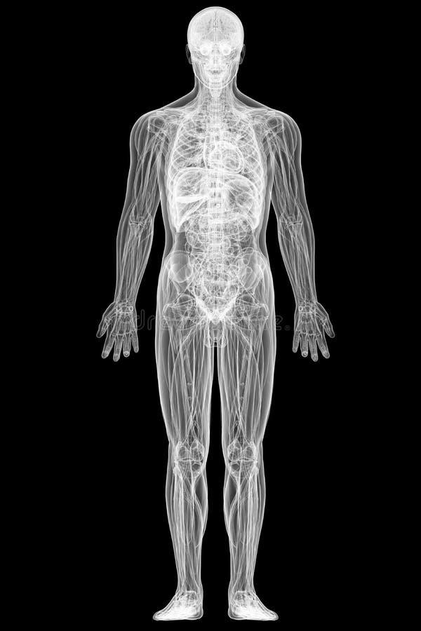 Vista dei raggi x del corpo umano completo illustrazione di stock