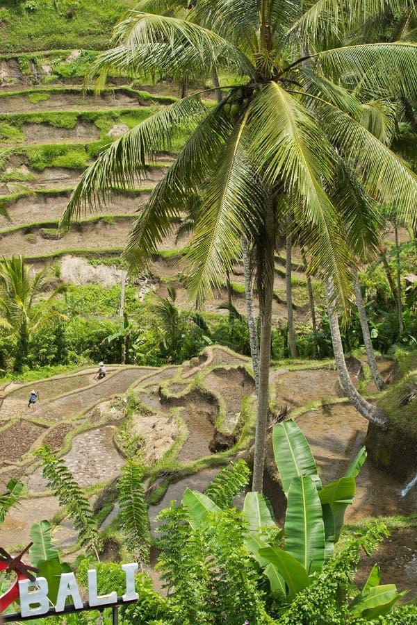 Vista dei terrazzi Bali, Indonesia del riso di Tegalalang fotografie stock libere da diritti