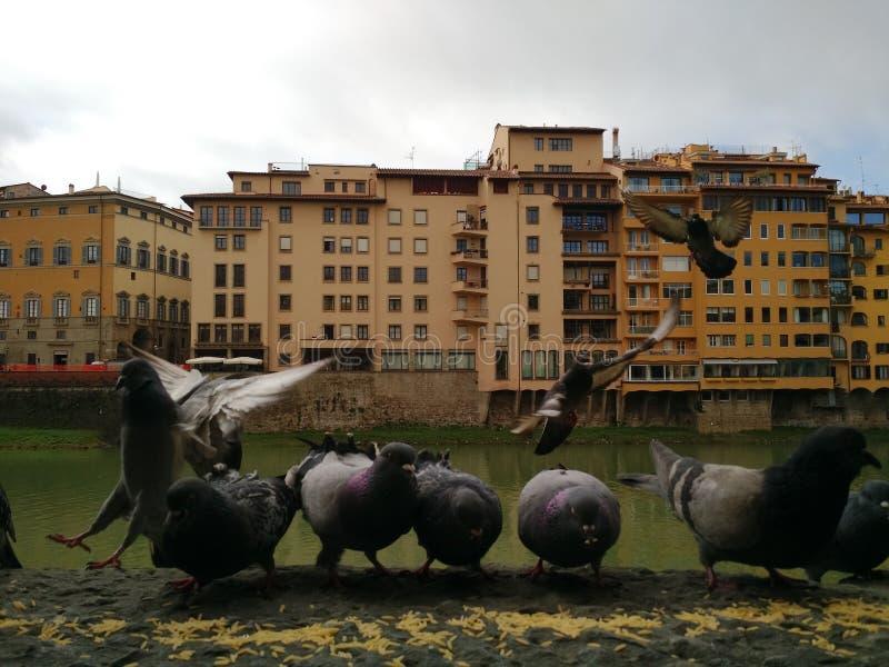 Vista del Arno con i piccioni nella priorità alta, Firenze, Italia fotografia stock