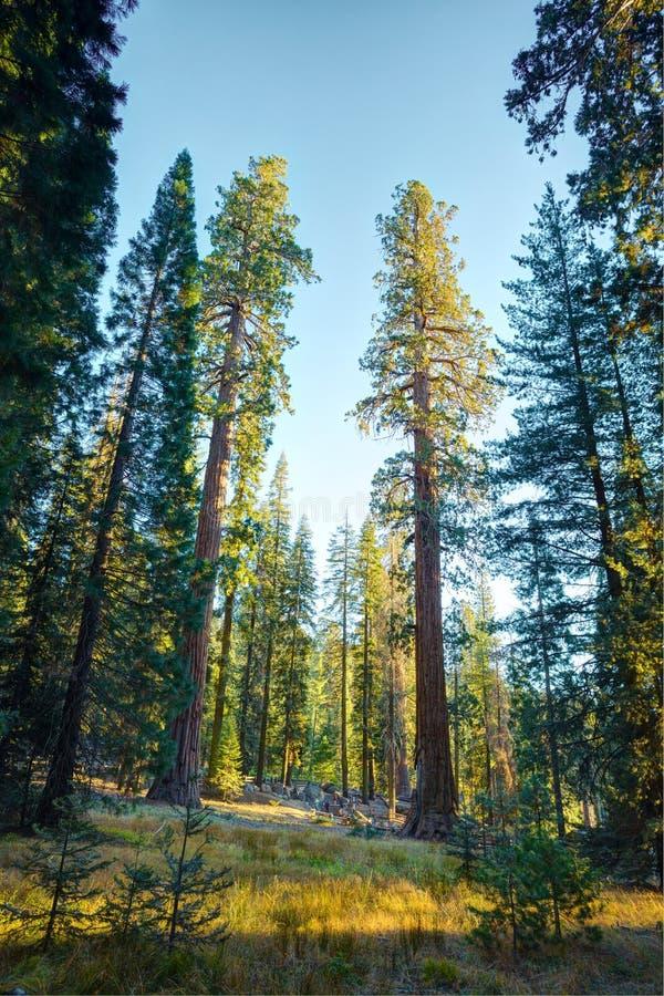 Vista del bosque gigante en los rayos del sol, Parque Nacional Sequoia, Condado de Tulare, California, Estados Unidos fotografía de archivo libre de regalías