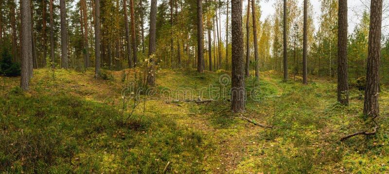 Vista del bosque del pino, tiempo del otoño fotografía de archivo libre de regalías
