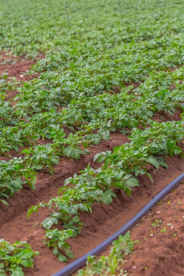 Vista del campo agricolo con coltivazione della patata, agricoltura biologica fotografie stock libere da diritti