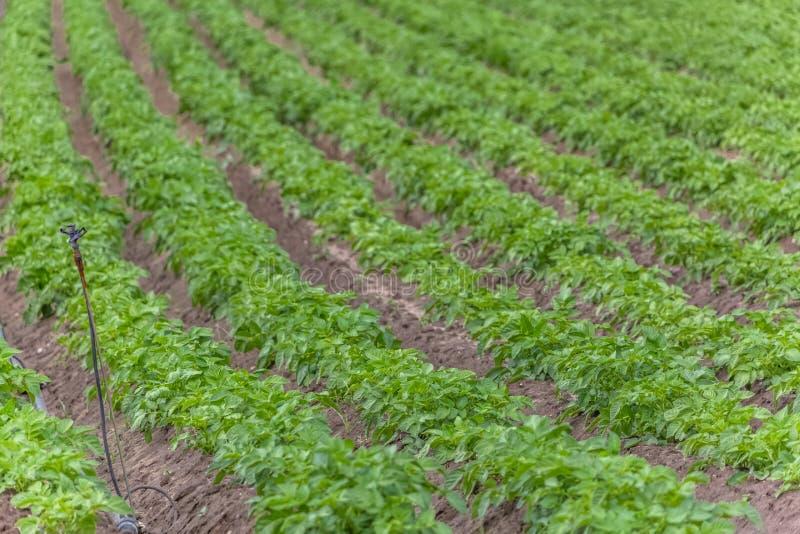 Vista del campo agricolo con coltivazione della patata, agricoltura biologica fotografia stock