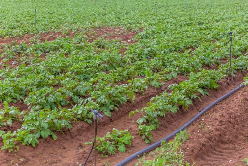 Vista del campo agricolo con coltivazione della patata, agricoltura biologica fotografia stock libera da diritti