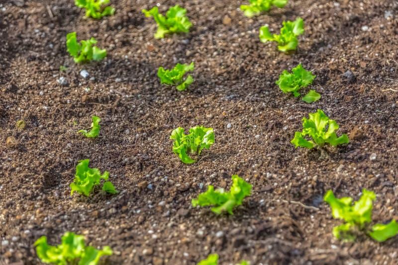 Vista del campo all'aperto di lattuga, di terra scura e di lattughe crescenti immagini stock