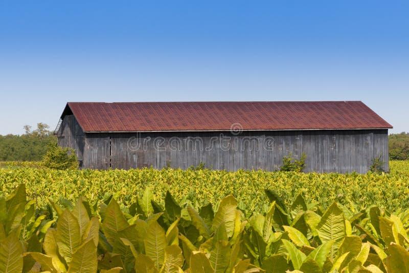 Vista del campo del granero y de las plantas de tabaco. fotografía de archivo libre de regalías